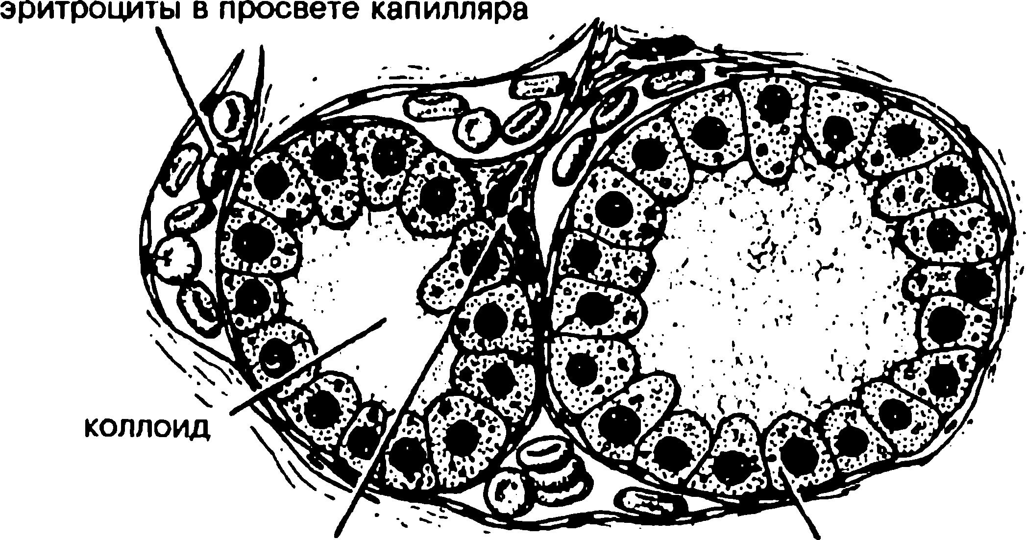 трубчатая железа